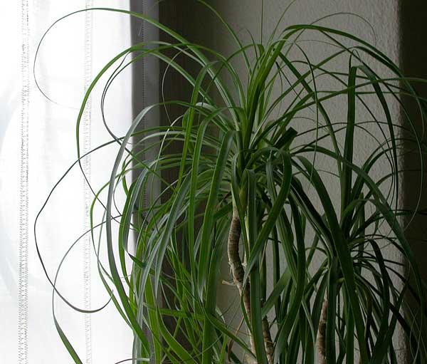 Piante da appartamento: Beaucarnea recurvata, detta ...