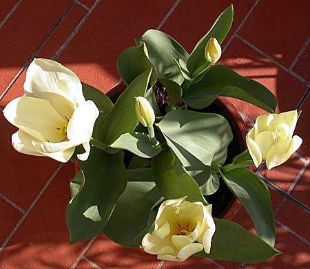 Tulipano in fiore