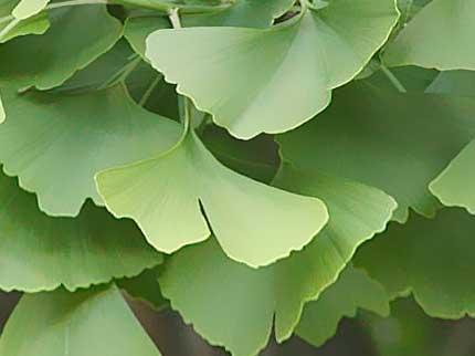 Le proprietà terapeutiche del Ginkgo biloba
