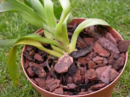 orchidea monopodiale