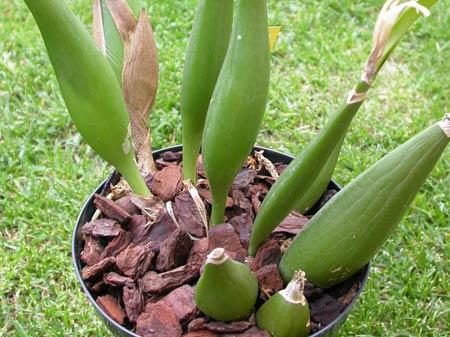 orchidea simpodiale