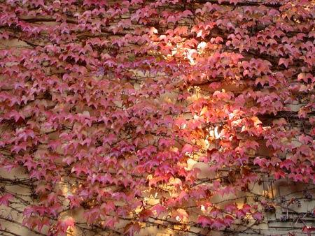edera rossa sempreverde