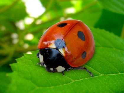 http://www.florablog.it/wp-content/uploads/2008/05/coccinella-01.jpg