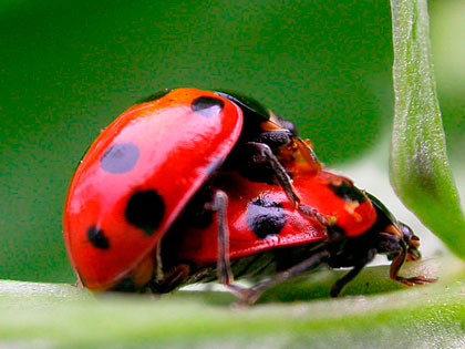 coccinelle in amore