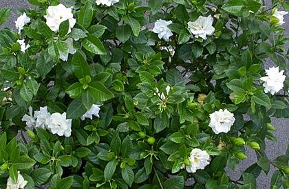 La gardenia, acidofila, predilice terreni acidi