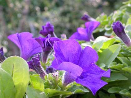 Petunia, una festa di colori, facile ed economica
