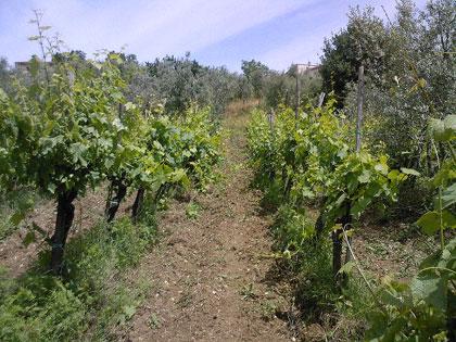 La vigna dei due allegri viticoltori allo sbaraglio...