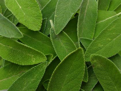 Foglie di Salvia officinalis