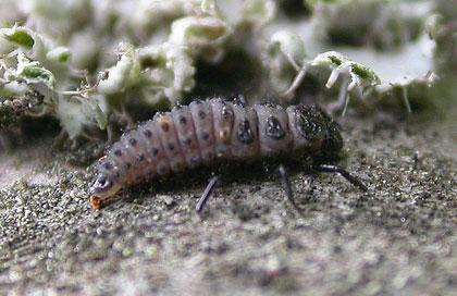 Larva di Adalia bipunctata