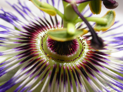 Passiflora cerulea