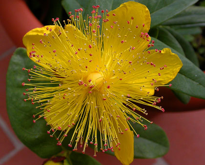 L\'iperico o erba di san Giovanni o scacciadiavoli (Hypericum perforatum)