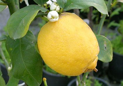 Sorbetto di limone