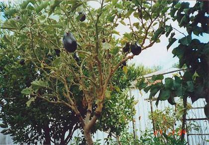 Un albero delle melanzane coltivato da Francesco