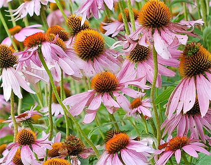 Echinacea angustifolia, rimedio contro i malanni di stagione