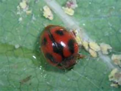 Rodolia cardinalis, il coccinellide predatore di Icerya purchasi detta cocciniglia cotonosa solcata