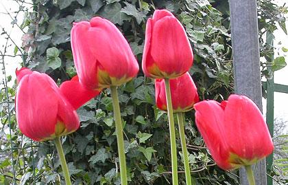 Tulipani e Giacinti, fioriture invernali in appartamento con la tecnica della forzatura