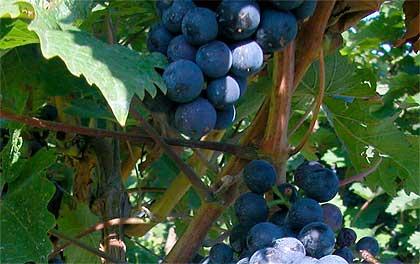 Due allegri viticoltori allo sbaraglio III parte