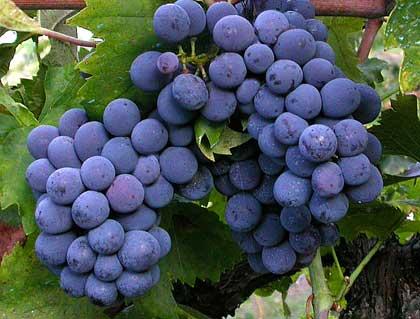 Il succo d\'uva ha gli stessi benefici del vino rosso?