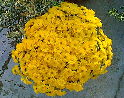 Crisantemo Chrysanthemum
