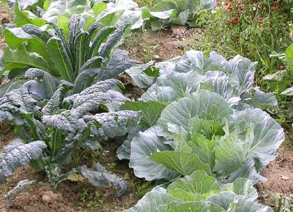 I cavoli (come le insalate), possono essere coltivati con successo anche in zone d\'ombra o esposte a nord