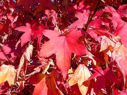 La bella stagione finita ce lo dice il liquidambar for Ocra pianta