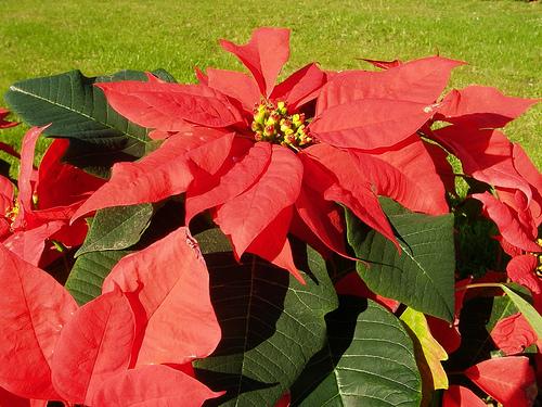 Euphorbia pulcherrima Stella di Natale