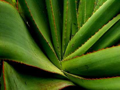 Le piante ornamentali velenose: l\'agave