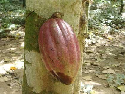 In Venezuela, dalla pianta di cacao al cioccolato più gustoso
