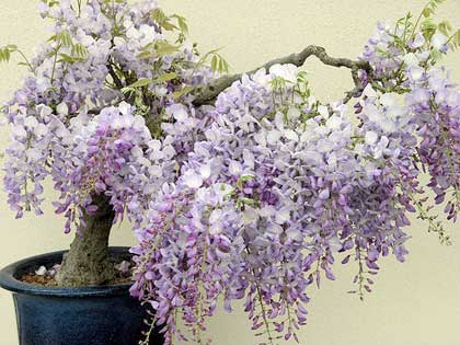 Bonsai, i lavori di Aprile