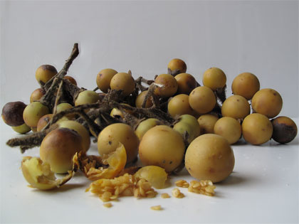 Semi di Solanum torvum