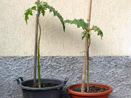 Albero delle melanzane, piante di Solanum torvum crescono (poco)