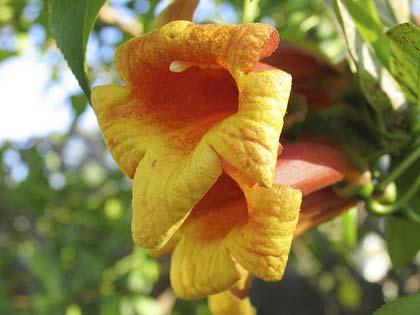 Bignonia, una cascata di fiori per tutta l\'estate