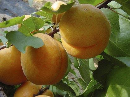 Albicocca, ricca di betacarotene per abbronzarsi meglio