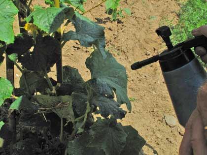 Estratto di pomodoro, antiparassitario naturale