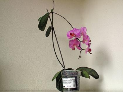 Un keiki di Phalaenopsis in fiore
