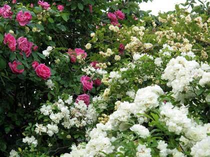 Le rose di dodi un giardino abbandonato cela splendide - Giardino con rose ...