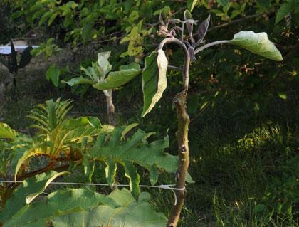 L'albero delle melanzane e... dintorni