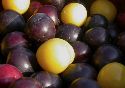 susine-plums-prunus-domestica