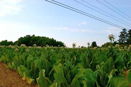 tabacco-nicotania-tabacum-tobacco
