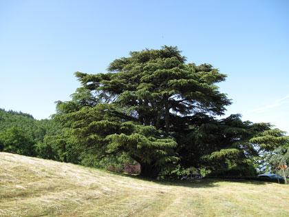 cedro-del-libano-badia-coltibuono