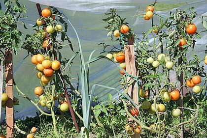 consociazione-porro-pomodoro