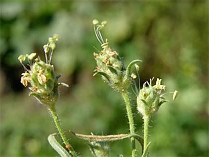 plantago-psyllium-l