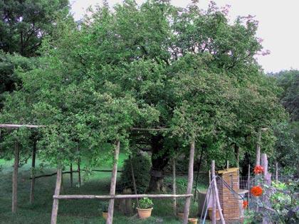 alberi-monumentali-crognolo-gigante-montieri-gr