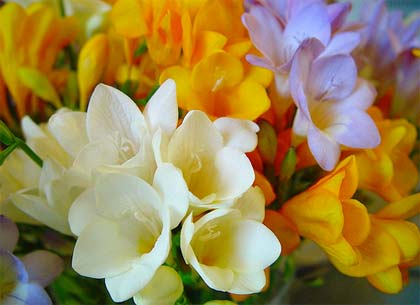 freesia