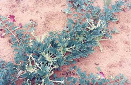 harpagophytum-procumbens