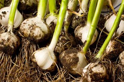 Cosa coltivare nell 39 orto a come aglio florablog for Aglio pianta