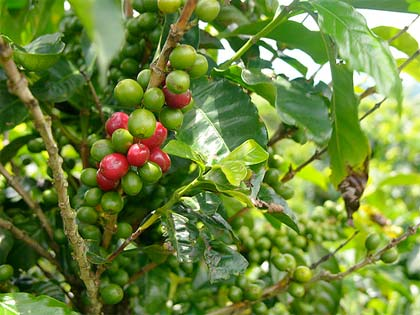 coffea-arabica