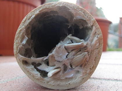 zucca serpente di Sicilia, da seme a seme