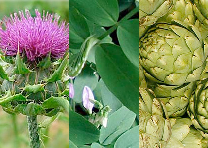 Cardo mariano, Liquirizia e Carciofo, 3 piante che aiutano fegato e vie biliari