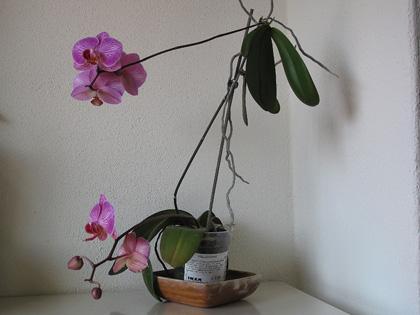 La spettacolare fioritura simultanea della phalaenopsis e for Orchidea acqua